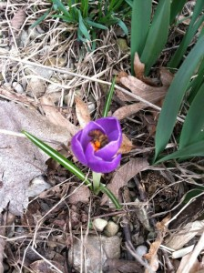 crocus with bee two