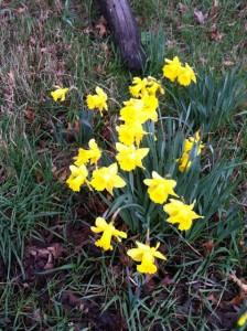 daffodils road